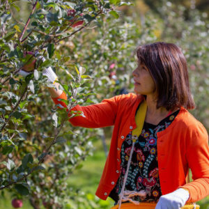 Apple picking activity at an apple orchard